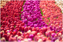 Color Lane (BobGeilings.nl) Tags: background beautiful black blooming botany color colorlane colorfull cultivated enviroment floral flower fresh garden green happy landscape light nature orange outdoor park purple romantic season spring springtime valentine way yellow