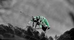 Le Charançon de l'Ortie (Phyllobius Pomaceus) (Bruno ArtPhoto) Tags: macro tamron nikon macromondays desaturated desaturation 90mm nature ligth