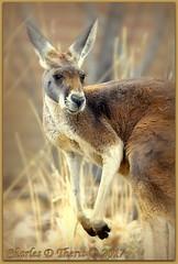 Red Kangaroo / Megaleia rufa (ctofcsco) Tags: 1500 1d 1dmark4 1dmarkiv 1div 22 200mm canon colorado coloradosprings digital ef200mmf2lisusm eos eos1d eos1dmarkiv esplora 2017 animal bokeh denver denverzoo explore explored geo:lat=3975024770 geo:lon=10494968870 geotagged nature northamerica picture statecapitol vinestreethouses wildlife wwwdenverzooorg zoo f22 kangaroo mark4 markiv photo pic pretty renown supertelephoto telephoto unitedstates usa