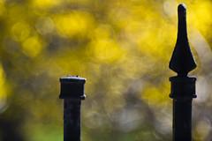 Broken Fence (WilliamND4) Tags: nikond810 hff fencefriday meyeroptikgoerlitztrioplanf28100lens bokeh yellow flowers