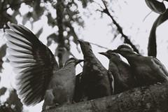 IMG_2787k (JennaF.) Tags: pajaros animales aves arbol nublado alas ramas fauna jardin horacio universidad antonio ruiz de montoya lima perú uarm cuculies