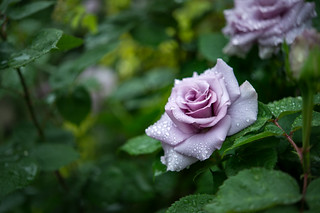 2017 Spring roses
