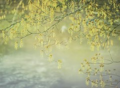 May blooms on foggy creek (jm atkinson) Tags: jai johnson maine fog blooms tree greens 105mm d700 bristolmills morning