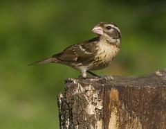 Rose-breasted Grosbeak, female (AllHarts) Tags: femalerosebreastedgrosbeak backyardbirds memphistn naturescarousel ngc naturesspirit thesunshinegroup sunrays5