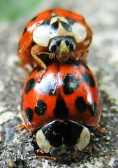 """""""Bug Love"""" (seanwalsh4) Tags: bugloveinsects red colourful nature fauna seanwalsh makemesmile funny mating ladybugs ladybirds closeup happy love nice"""