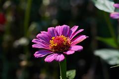 ML_170513_5 (alfrd p) Tags: nature flora flowers plants zinnia mountlofty botanic garden
