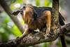 Little Lion Tamarin (helenehoffman) Tags: monkey goldenheadedtamarin liontamarin newworldmonkey leontopithecuschrysomelas goldenheadedliontamarin brazil rainforest mammal animal primate conservationstatusendangered coppercloudsilvernsun