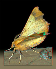 Ennomos Magnaria, Maple Spanworm Moth - Anaglyph 3D (DarkOnus) Tags: pennsylvania buckscounty huawei mate8 cell phone 3d stereogram stereography stereo darkonus closeup macro insect ennomos magnaria maple spanworm moth anaglyph