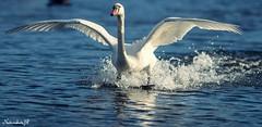 "Splash ""explored"" (Natureshots.JP) Tags: swan explored"