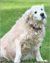 Shelby (2.2 Million + views!!! Thank you!!!) Tags: canon eos rebel t4i pspx9 paintshopprox9 efex canada ontario outdoors 100400mm canonef100400mm shelby goldenretriever golden dog animal