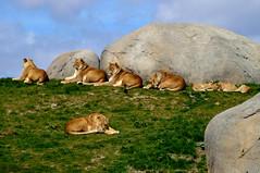 Wildlands Adventure Zoo Emmen (l-vandervegt) Tags: 2017 nederland netherlands holland niederlande paysbas drenthe emmen wildlands adventure zoo dierentuin leeuwen lions