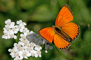 Lycaena dispar - the Large Copper (male)