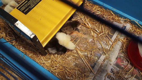 "Chicks in Other Class • <a style=""font-size:0.8em;"" href=""http://www.flickr.com/photos/132522852@N04/33960956343/"" target=""_blank"">View on Flickr</a>"