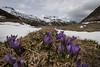 spring in the alps I (DeCo2912) Tags: lai da sontga maria spring frühling primavera alps passo del lucomagno lukmanierpass krokus crocus