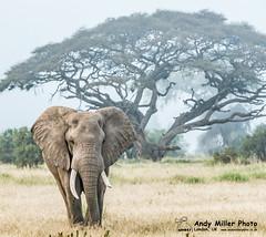 20160217-07-30-29_C018456 2000px (ajm057) Tags: 8takenusing africa africanelephantloxodontaafricana africanbushelephantloxodontaafricana amboselinationalpark andymillerphotolondonuk elephantidaeelephants kenya loxodonta mammal nikond810 proboscideaelephants reservesparks wildlifephotography kajiado ke african elephant