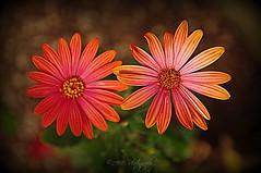Margarita (Rollingstone1) Tags: margarita flower spanish flora nature natural daisy pearl colour art macro vibrant