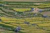 _Y2U0312.0915.Lìm Mông.Cao Phạ.Mù Cang Chải.Yên Bái (hoanglongphoto) Tags: asia asian vietnam northvietnam northwestvietnam landscape scenery vietnamlandscape vietnamscenery vietnamscene outdoor terraces terracedfields terracedfieldsinvietnam harvest dale landscapewithpeople people canon canoneos1dx tâybắc yênbái mùcangchải caophạ lìmmông thunglũng phongcảnh phongcảnhcóngười người ruộngbậcthang ruộngbậcthangmùcangchải lúachín mùagặt mùagặtmùcangchải lúachínmùcangchải canonef70200mmf28lisiiusmlens thunglũngcaophạ