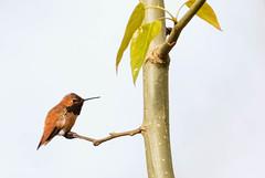 1704_EOS7DMKII-04-162016_01506-Edit-Edit (Peter Bangayan) Tags: hummingbirds smallbirds bird canon eos7d eos7dmkii ef500mmf4lisusm wildlife wild nature nisquallywildliferefuge