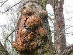 Grimmiges Männergesicht (magritknapp) Tags: baum tree arbre árbol albero árvore gesicht face cara faccia