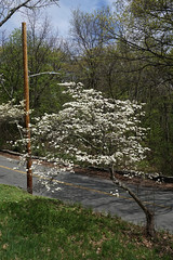 Cornus florida (Flowering Dogwood) (Plant Image Library) Tags: arnoldarboretum trees plants massachusetts boston science botany phenology may 2017 arnold arboretum new england spring cornusflorida floweringdogwood cornaceae 4062011a flower