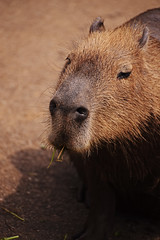 お食事 (SHUN.ANDANTE) Tags: capybara 茨城県 日立市 日立市かみね動物園 カピバラ