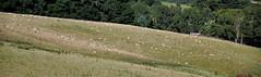 Sheep (Lim SK) Tags: otago peninsular sheep dunedin