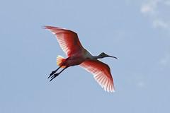 Translucent Wings (dcstep) Tags: roseatespoonbill staugustinealligatorfarm rookery pink bif flight wing birdinflight flying allrightsreserved copyright2017davidcstephens dxoopticspro114 canon5dmkiv ef100400mmf4556lisii florida staugustine bird handheld n7a2926dxo ecoregistrationcase15586202651