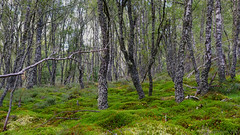 in search for forest magic - HTT! (lunaryuna) Tags: scotland cairngorms nationalpark forest birchwood forestinterior trees mosses beauty treemendoustuesday landscape lunaryuna