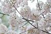 Prunus x yedoensis 'Akebono' (Masaoki Hirai) Tags: prunus cerasus rosaceae elmaritr135mmf28 cherryblossoms