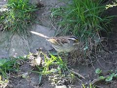 White-throated Sparrow (Janet Tubb) Tags: bird whitethroatedsparrow oshawa ontario canada