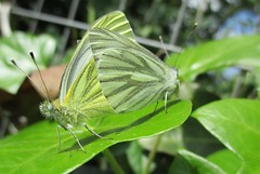 Mating Green-veined white butterflies (seanwalsh4) Tags: pierisnapi greenveinedwhitebutterfly seanwalsh nature insects delicate nice happy love cute fauna flying closeup canon bristol england