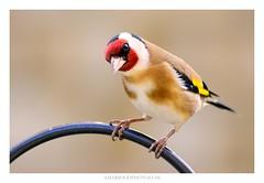 Goldfinch (Amar Sood) Tags: amarsoodphotocom amarsoodphotography nikon d800 d800e goldfinch bird birder nature wildlife tamron tamron150600