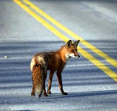 Highway Patrol (Walkuere123) Tags: vulpesvulpes redfox rotfuchs zorrorojo animal tier outdoor highway landstrase carretera nikond750 afsnikkor28300mmf3556gedvr niagarafallsontariocanada highwaypatrol