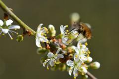 Bombed (nyanc) Tags: bombed bombyliusmajor attack flower bloem aanval macro macromondays plant spring lente gebombardeerd nikon netherlands nature natuur insect wolzwever intentionalblur