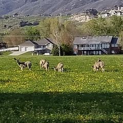 deer grazing (denebola2025) Tags: deer farm crop farmer north ogden utah pleasant view nature wildlife