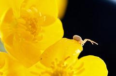 Contre-attaque ! (valerierodriguez1) Tags: bouton or flower gold yellow jaune spider araignée attaque attack canon eos 7d