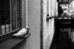 Dove and DOF (Leica M6) (stefankamert) Tags: stefankamert dove dof leica m6 leicam6 rangefinder summitar film analog grain kodak trix blackandwhite blackwhite schwarzweis noir noiretblanc