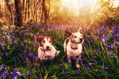 Boys in blue... (Kerriemeister) Tags: max maxandpaddy paddy jackrussellterrier jack russell terrier terriers brothers dogs dog bluebells bluebell flowers sunshine magical