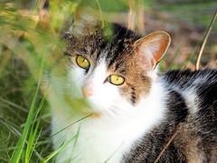 P5100273 (s_hallman55) Tags: cat stray feline face fur animal wild