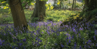 Bluebells by the Tay