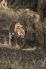 Arrowhead again (Shubh M Singh) Tags: ranthambhore wildlife india tiger