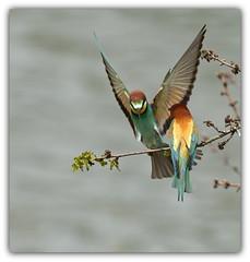 Guêpier d'europe (guiguid45) Tags: nature sauvage oiseaux bird loire loiret d810 nikon 500mmf4 guêpierdeurope meropsapiaster europeanbeeeater affût coraciiforme méropidé