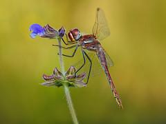 macho con punto azul (Santi BF) Tags: sympetrum sympetrumfonscolombii libélula libèl·lula dragonfly odonato odonata anisóptero aproximación macro