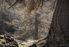 mélèzes (bulbocode909) Tags: valais suisse alpagedutronc montchemin arbres mélèzes printemps nature montagnes rochers lichens