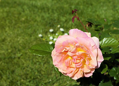 paris-149 (gabriel_flr) Tags: paris france seine ladéfense toureiffel bateaux grandearche gabrielflr gabrielflorea blueskies puteaux courbevoie macron investitureduprésident notredame rose roses rosen trandafiri trandafir blooms blumen fleures rosa