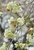 Prunus lannesiana 'Grandiflora' (Masaoki Hirai) Tags: trioplanf28100 prunus cerasus rosaceae cherryblossoms
