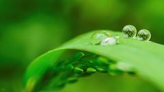 Green Dream (YᗩSᗰIᘉᗴ HᗴᘉS +6 500 000 thx❀) Tags: green drops nature creative goutte h2o art macro hensyasmine flickrunitedwinner