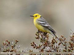 Citrine Wagtail (Motacilla citreola) (gilgit2) Tags: avifauna birds borit canon canoneos7dmarkii category citrinewagtailmotacillacitreola fauna feathers geotagged gilgitbaltistan gojal imranshah location pakistan species tags tamron tamronsp150600mmf563divcusd wildlife wings gilgit2 motacillacitreola birds10