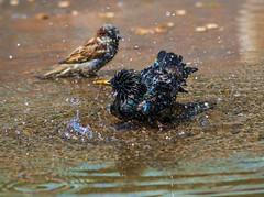 """starling-D75_2521-LR6 (John """"Igor S."""" Moffitt) Tags: nikkor ais 50300mm f45 ed nikkorais50300mmf45ed starling bird bathing water hot summer"""