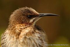 Cape Sugarbird Infanta -002 (markus lilje) Tags: markuslilje bird birds southafrica capesugarbird promeropscafer sugarbird